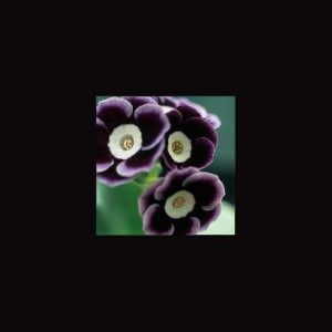 x auricula ' Innsworth '-0