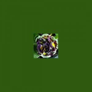 x auricula Johanna-0