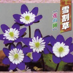 Japanische Hepatica Katalog Nr 18