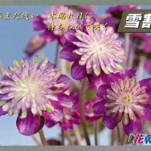 Japanische Hepatica Katalog Nr 23