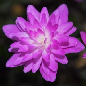 Hepatica nobilis var. japonica Asahi Double