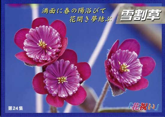 Japanische Hepatica Katalog Nr 24-0