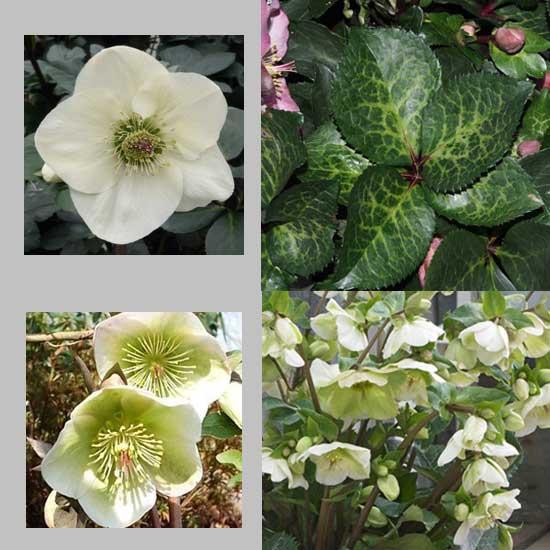 Kultivar Molly's White-0