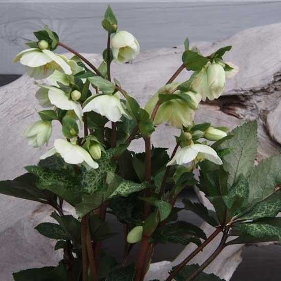 Kultivar Molly's White-9670