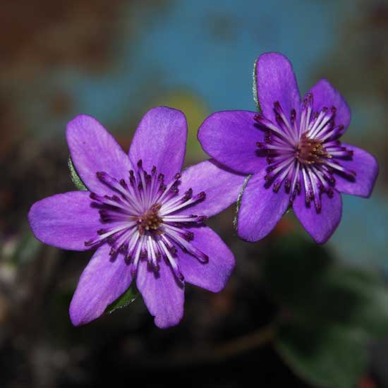 nobilis var. japonica Raiu o hösha-0