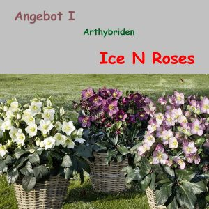Angebot I : Helleborus Ice N Roses