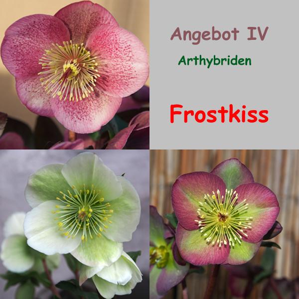 Angebot IV : Helleborus Frostkiss
