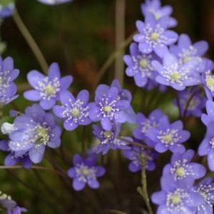 Hepatica nobilis var. nobilis f. minima Blue Pixi