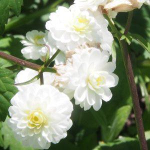 Ranunculus_alpestris_floro-pleno