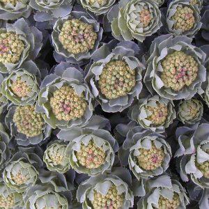 Rhodiola rosea f. arcticum